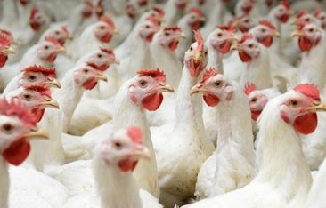 TCA's Final Decision on the Investigation Regarding Poultry Sector